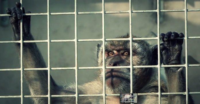 Un macaco en una jaula. CER