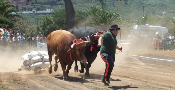 El arrastre de ganado vuelve el domingo a la Finca Los Zamorano de Tegueste