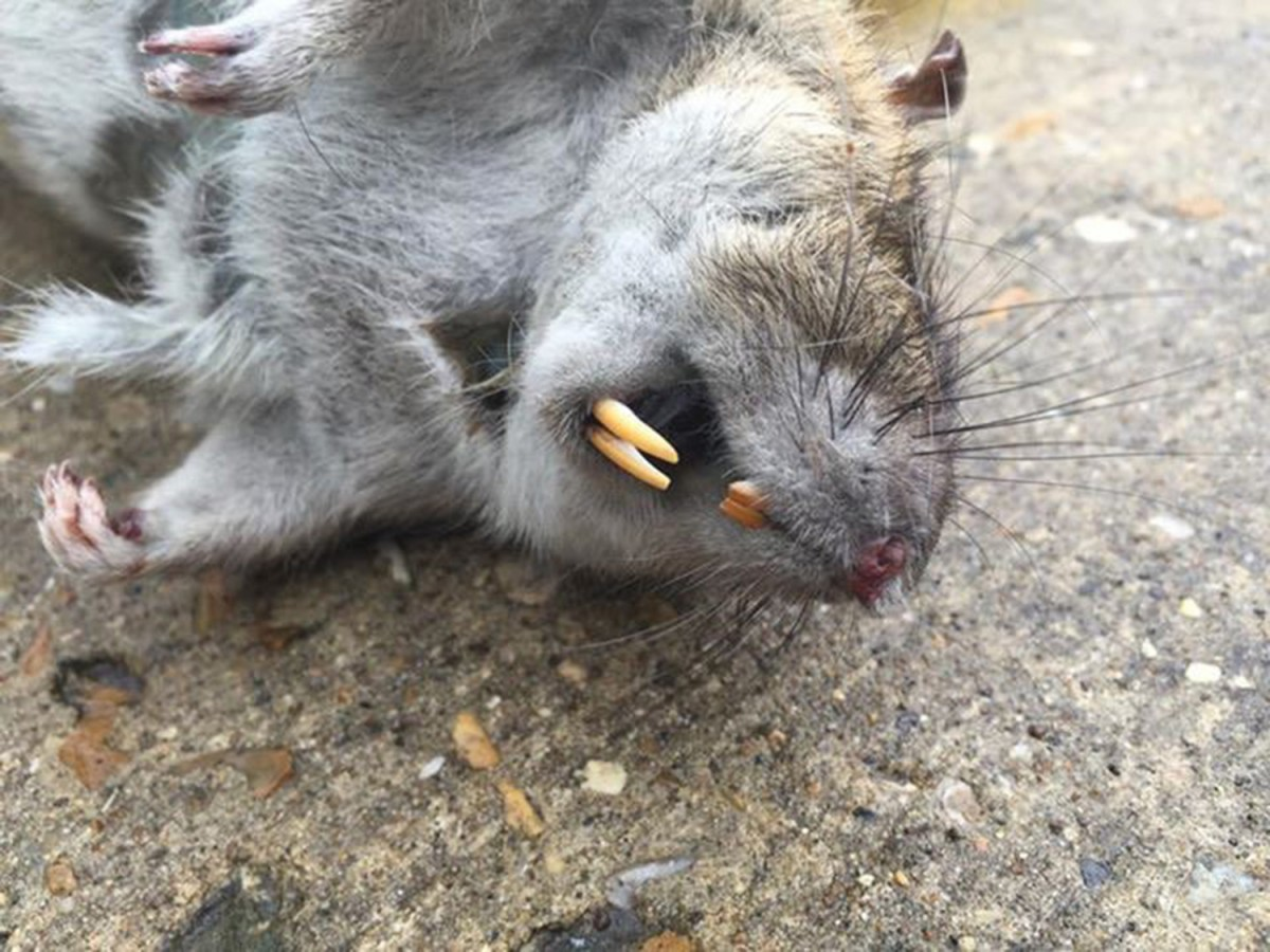 Atrapan a una rata gigante que ten a atemorizados a todos - Como matar las moscas de mi casa ...