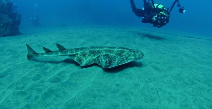 Cómo prevenir un ataque del singular tiburón que vive en Las Teresitas