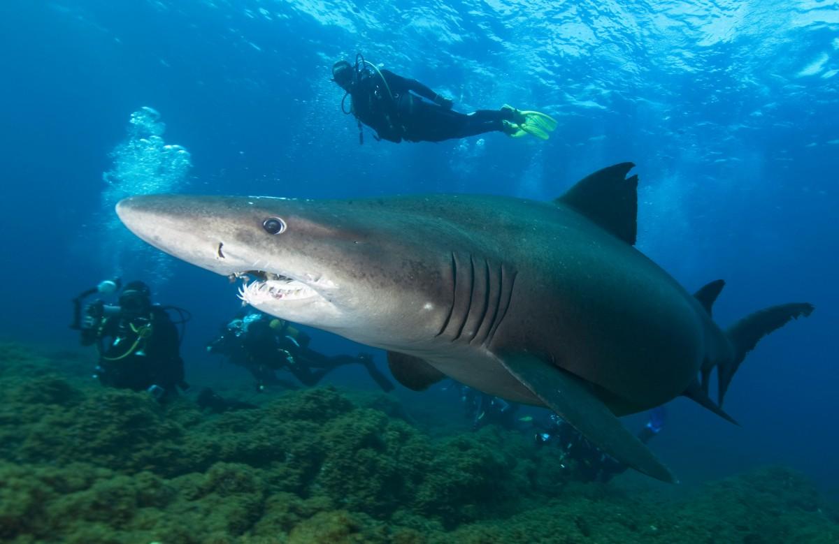 Un tiburón sarda merodea en el Mar de Las Calmas ante la presencia de varios buceadores. Foto: Sergio Hanquet