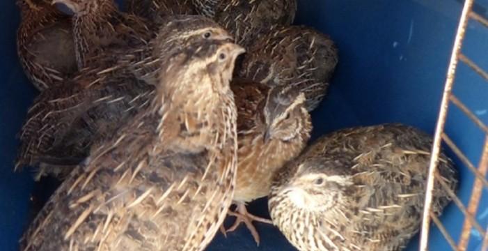 La Policía Canaria descubre una tienda de animales que vendía aves exóticas invasoras en Tenerife