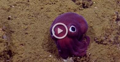 Encuentran un calamar que parece de juguete