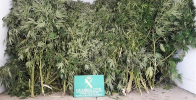 Detenido en La Victoria por la posesión de 80 plantas de marihuana