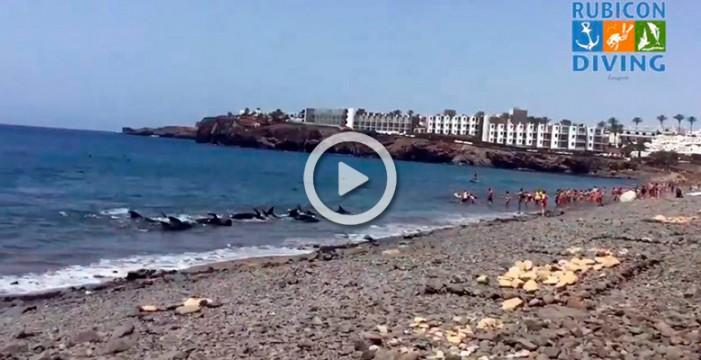 Un grupo de bañistas salva a una manada de ballenas varadas en Lanzarote