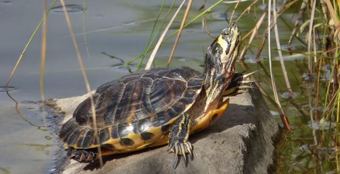 Detectan una especie de tortuga muy perjudicial en Tenerife y Gran Canaria