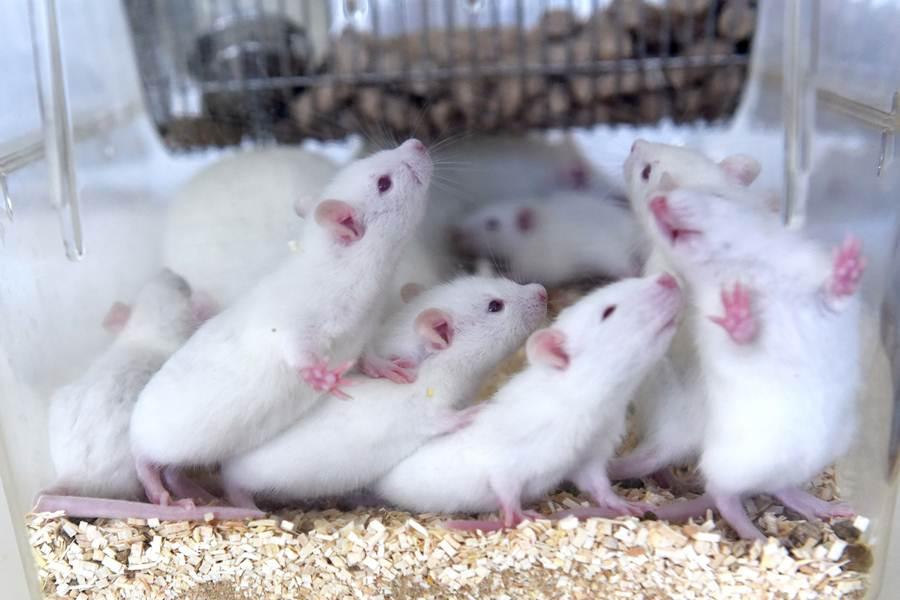 Resultado de imagen de ratones de laboratorio