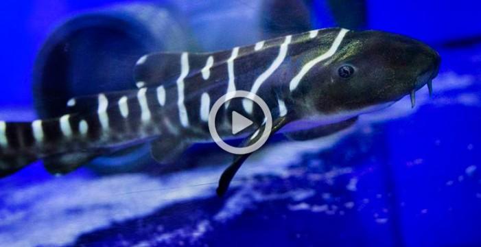 Udra, la primera cría de tiburón cebra que nace en Loro Parque