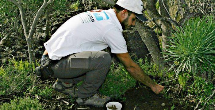 Un jeque árabe financia la siembra de saltamontes en La Palma
