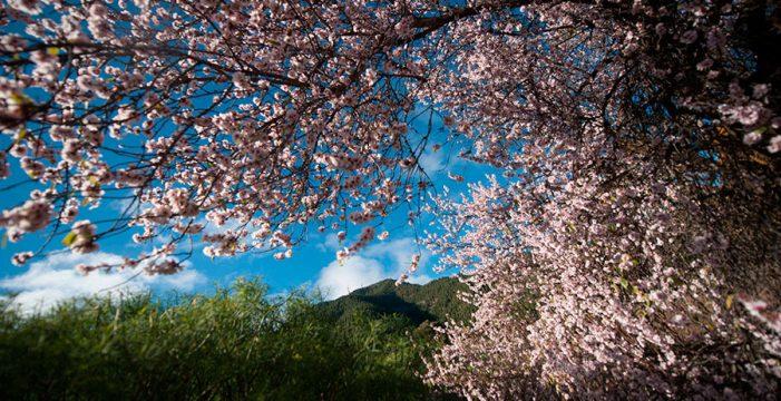 Tenerife, entre los diez mejores sitios de España para ver los almendros en flor