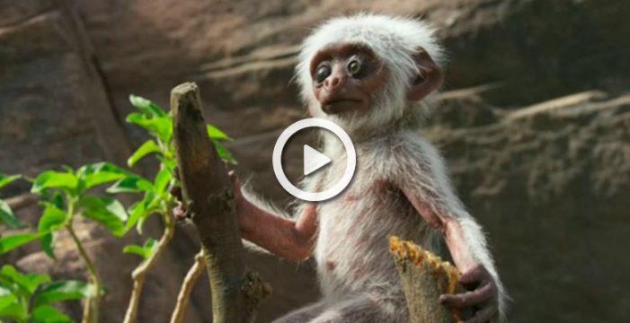 La reacción de una manada de monos lagur al creer que una cría ha muerto
