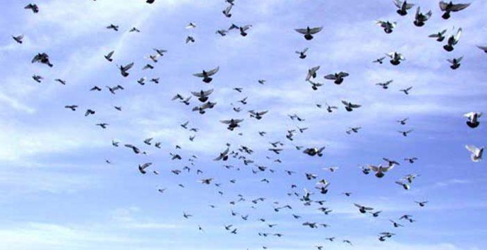 Defienden compatibilizar la protección del halcón de Berbería y la colombofilia