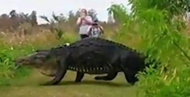 Aparece un caimán gigante en Florida