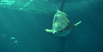 Hallado un compuesto químico en el hígado de tiburones capaz de neutralizar la enfermedad de Parkinson