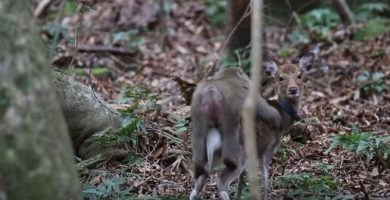 Un macaco japonés trata de copular con una cierva