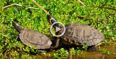 Las tortugas del parque de La Vega transmiten la salmonela y se comen a las palomas y las carpas