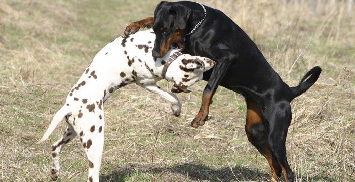 Suspendido el policía de Adeje encarcelado por las peleas de perros