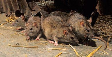 Una mujer con enfermedad mental vive en La Palma en un pajero con ratas