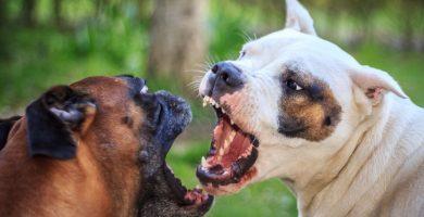Operativo a escala nacional en Güímar contra las peleas de perros