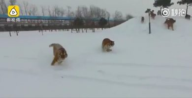 Tigres siberianos cazan un dron en pleno parque de China