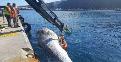 Aparece una ballena de 14 metros flotando en La Palma