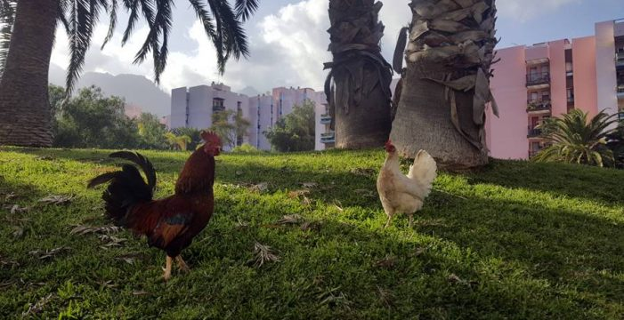 Liberan a la urbanización Benahoare de más de 800 gallos