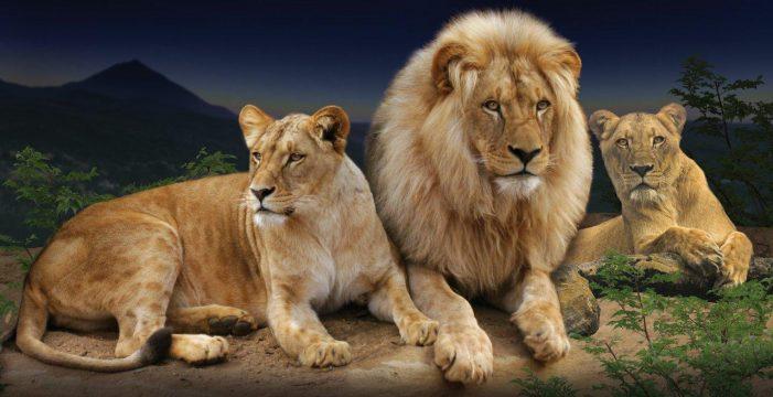 El 'Lion's Kingdom' del Loro Parque se inaugura el 25 de mayo