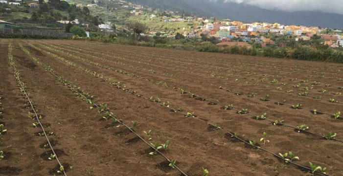 El mal que tumbó el tabaco palmero pudo ser intencionado
