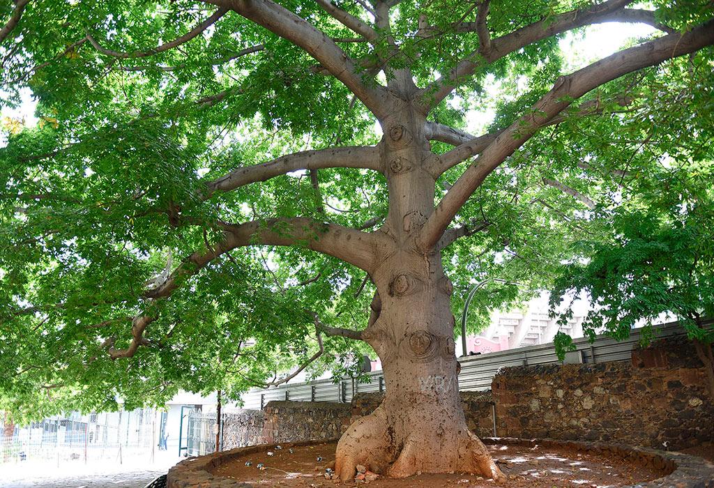 Los monumentos vegetales que dan vida a santa cruz - Parques infantiles santa cruz de tenerife ...