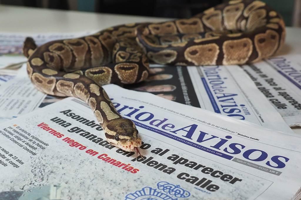 Una pitón real se pasea sobre nuestro periódico. S.M.