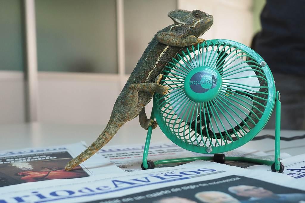 Al camaleón velado le encantó este ventilador. S.M.