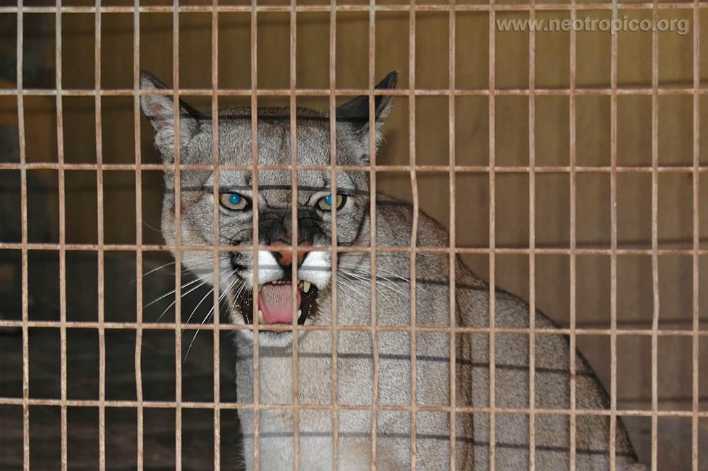 El puma confiscado en el Norte de Tenerife en 2008. DA