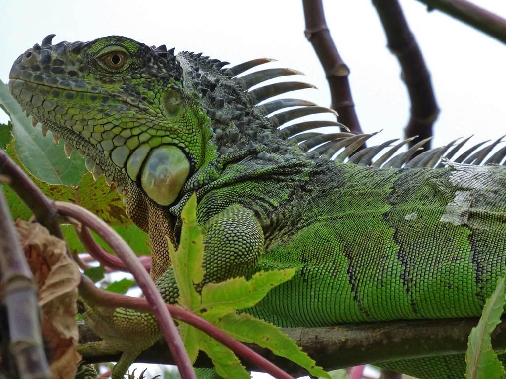 La asociación ya cuida de una veintena de iguanas. DA