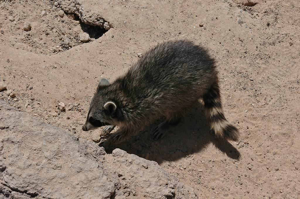 Este mapache apareció en un cuarto de baño de un campo de golf del Sur. DA