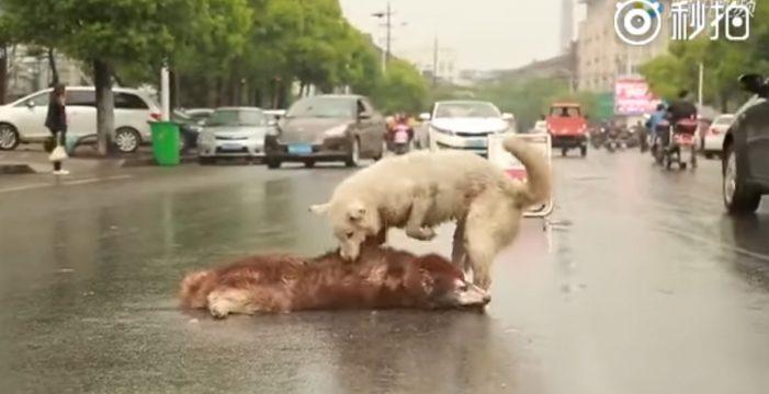 Desgarrador momento en que un perro intenta despertar a su compañero atropellado