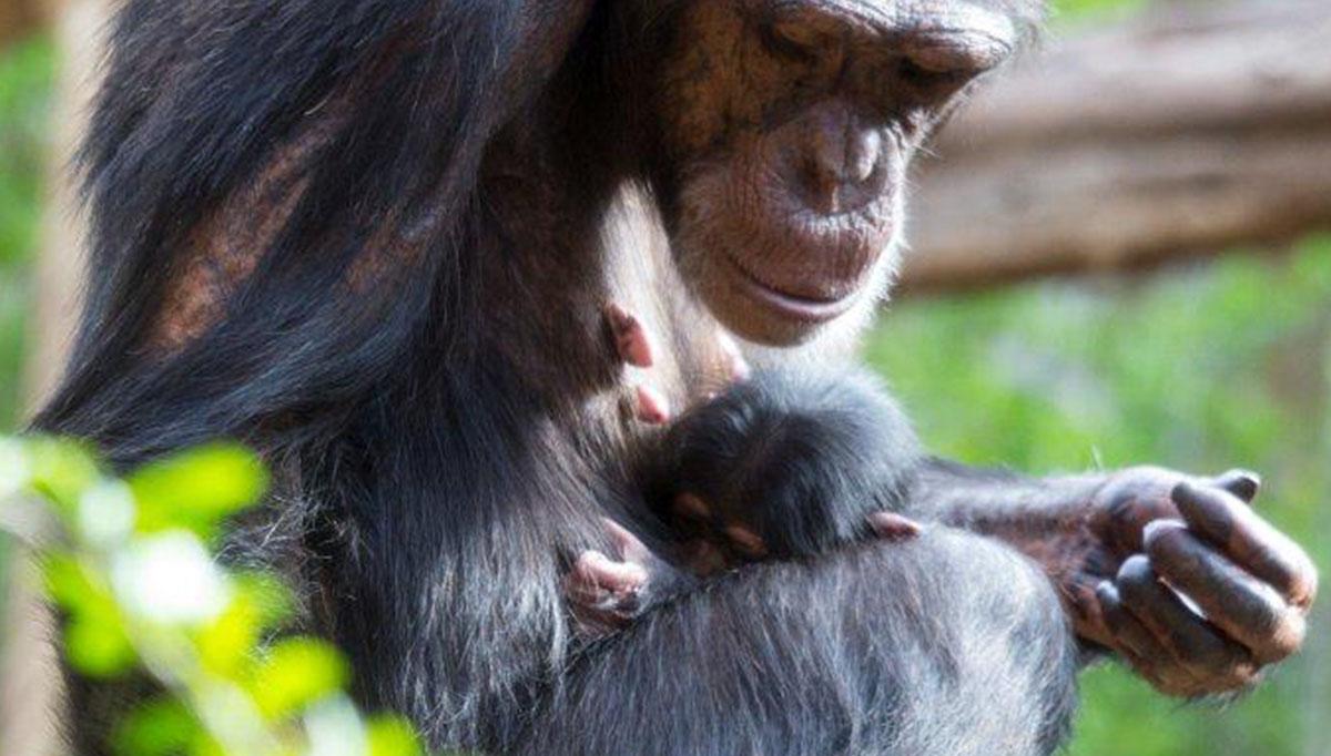 Nace en el Loro Parque una cría hembra de chimpancé en peligro de extinción