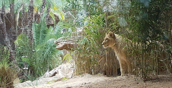 Ya están aquí las leonas del Loro Parque