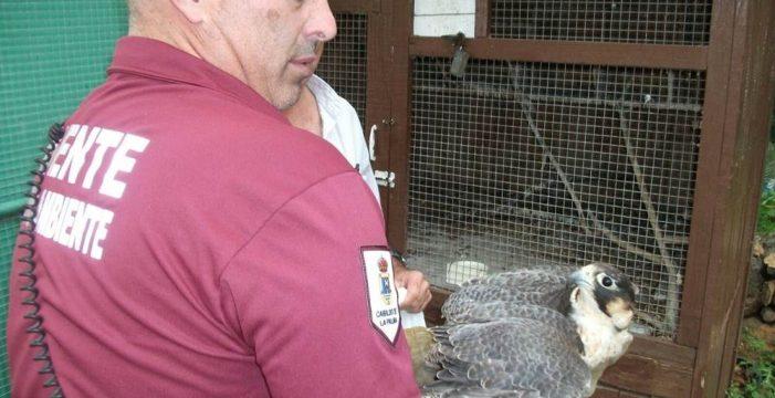 Decomisan un halcón tagarote, en peligro de extinción, en una casa en La Palma