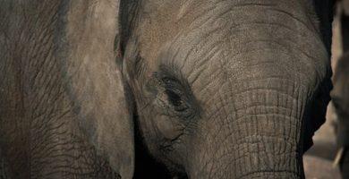 Un cazador muere después de que un elefante lo levantase con la trompa en el aire