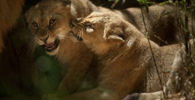 Las dos felinas juegan siempre juntas, muerden las ramas de hierba que hay por toda la instalación y buscan sombra en las horas de más calor. Fran Pallero