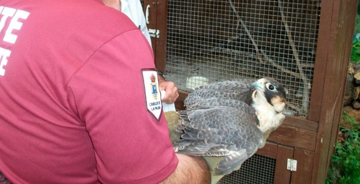 Decomisan en una vivienda de La Palma un halcón de una especie en extinción