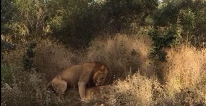 León arriesga su vida y la de su hermano por una hembra