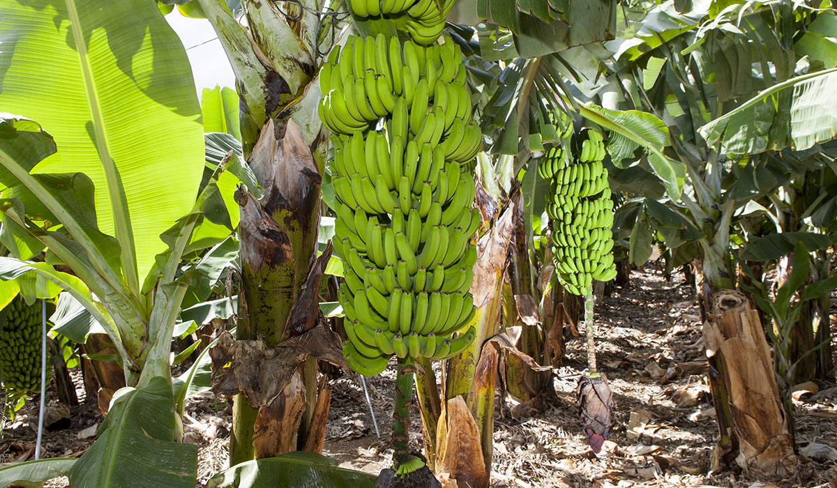Se trata de la primera vez que Plátano de Canarias llega a África; esta acción se enmarca en el objetivo de Asprocan de llegar a más mercados. DA