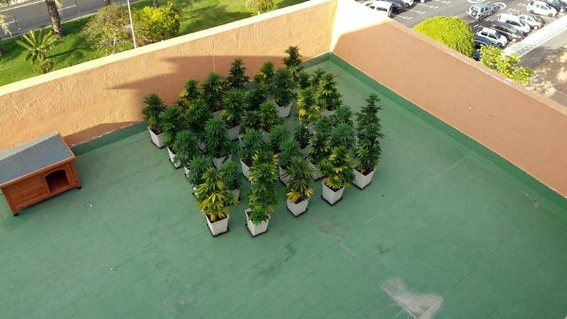 hallan ms de treinta plantas de marihuana en la terraza de una vivienda en los cristianos