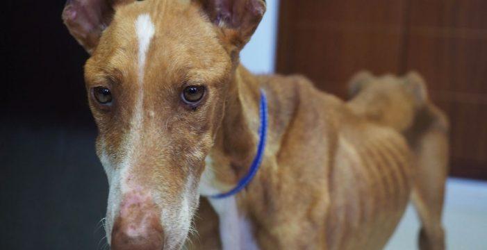 Nadie quiere adoptar a Bety, la perra que cayó desde una ventana