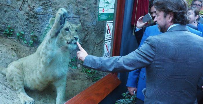 Loro Parque presenta en sociedad a sus leones Simba, Malika y Sarabi