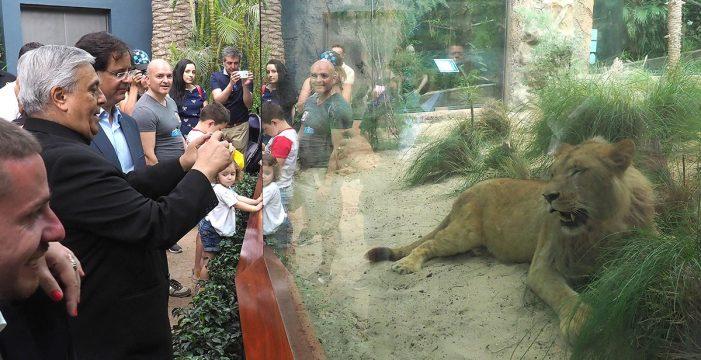 Loro Parque exhibe tres crías de subespecie poco numerosa de león de Angola