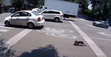 Increíble persecución a un perro que casi es atropellado en una autopista de México