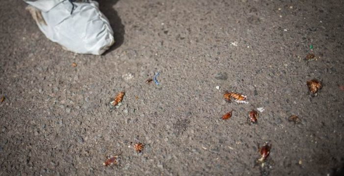 Las cucarachas se adueñan de El Médano
