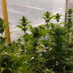Planta de cannabis. DA